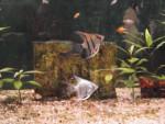 scalaire - Fisch (5 Jahre)
