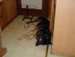 berger allemand ourak de la ferme sauvage - Hund