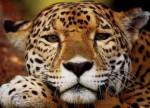 maria - Jaguar (2 Monate)