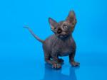 Olivier - Männlich Katze