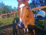 Napsugar Ozora - Pferd (7 Jahre)